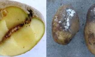 Συνιστώμενα μέτρα για την προστασία των κονδύλων της πατάτας από τον Περονόσπορο και την Φθοριμαία