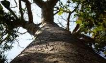 Το γιγάντιο δέντρο ύψους 50 μέτρων που προστατεύει τον πλανήτη - Στερεοποιεί το CO2 στη γη