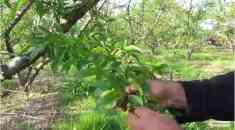 Ξεκίνησε το αραίωμα των καρπών ροδακινιάς - Πως γίνεται το αραίωμα στις πρώιμες ποικιλίες (Βίντεο)