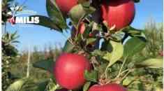 Νέες καταξιωμένες ποικιλίες παγκοσμίως - Αποκλειστική διάθεση της APPLE GALA από τα ΦΥΤΩΡΙΑ ΜΙΛΗΣ (Βίντεο)