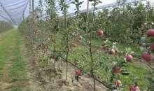 Γλυκά μήλα Regal'You