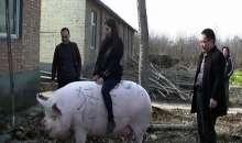 Κίνα: Εκτροφή γουρουνιών με βάρος πολικής αρκούδας